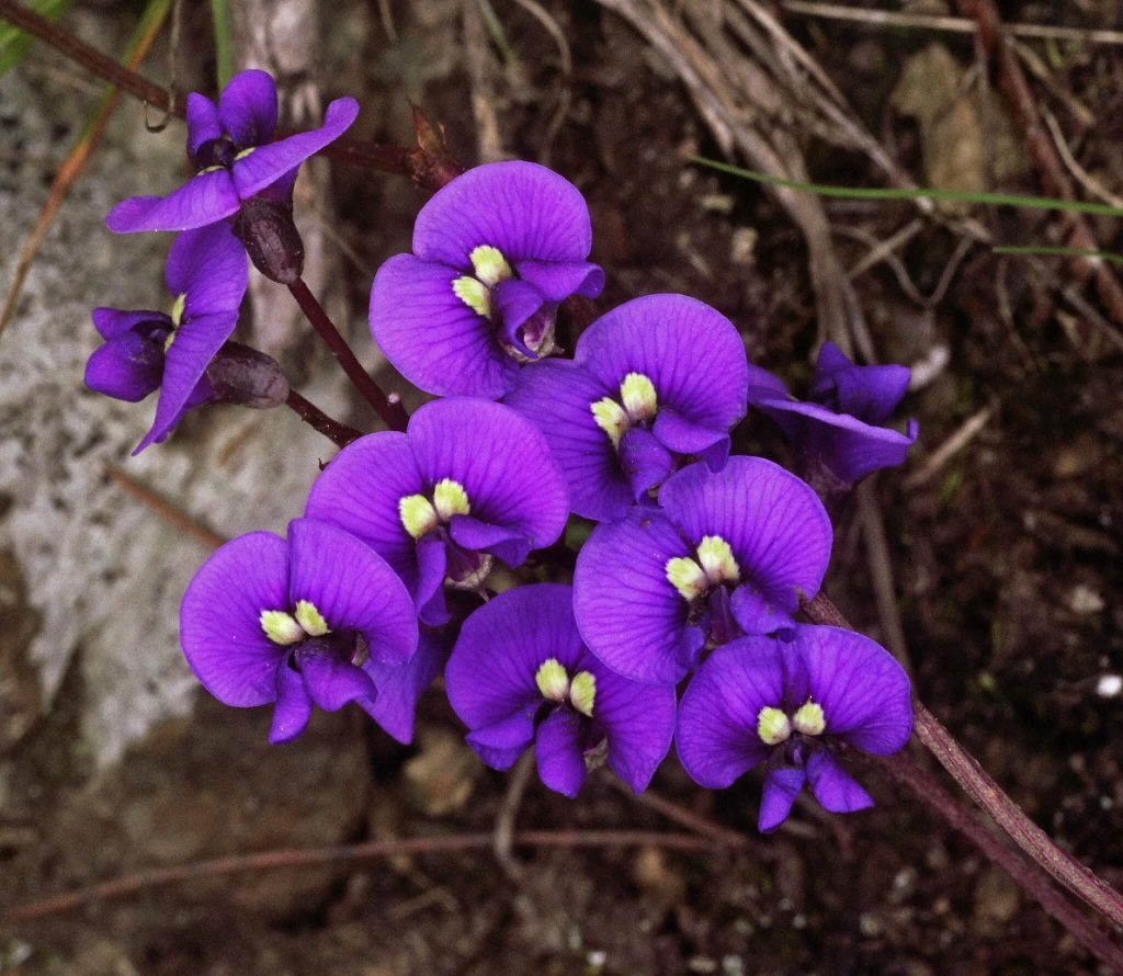 purple coral-pea indigenous child friendly plants
