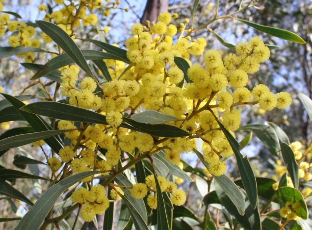 Golden wattle indigenous child friendly plants