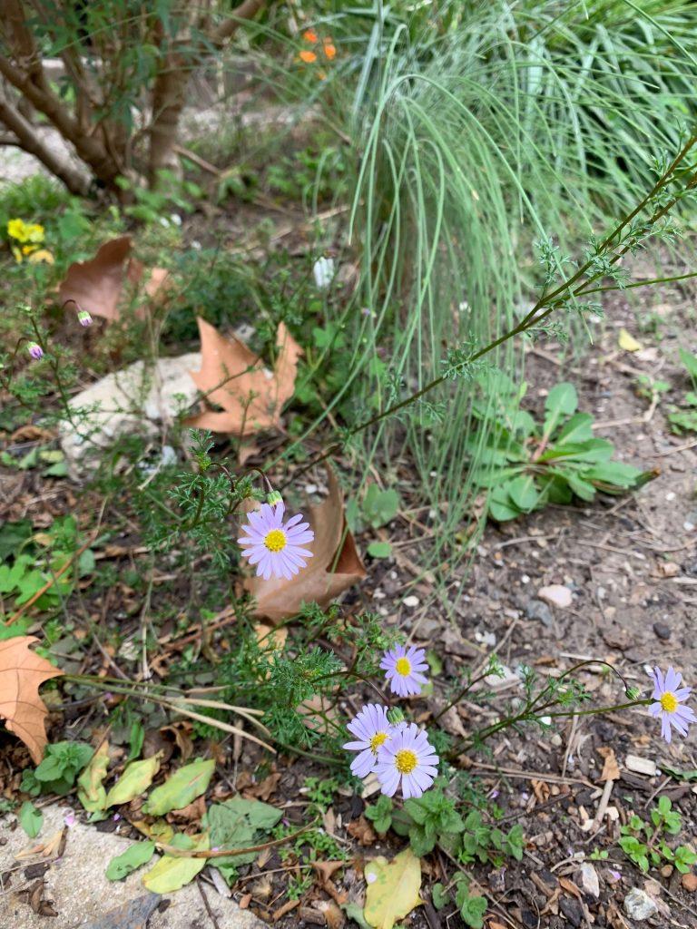 cut leaf daisy indigenous child friendly plants
