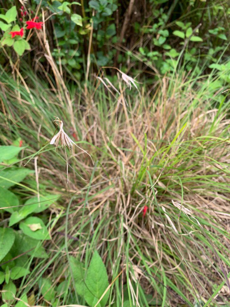 Kangaroo grass indigenous child friendly plants